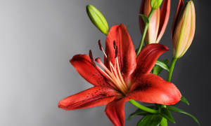 Как сохранить лилии зимой в домашних условиях