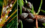 Хермес лиственнично еловыйпораженное растение