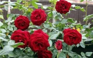 Уход за парковыми розами осенью подготовка к зиме