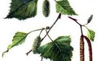 Липа это хвойное или лиственное дерево
