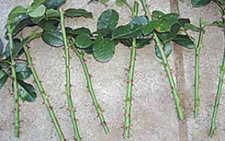 Как размножить розы черенками в картошке осенью
