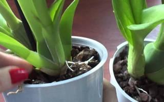 Промывание корней орхидеи