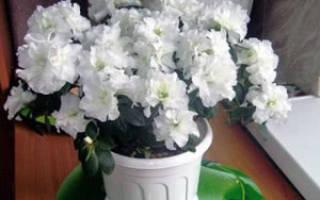 Фландрессе цветок как ухаживать