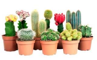 Уход за карликовыми кактусами