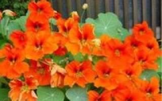 Можно ли настурцию выращивать как комнатное растение