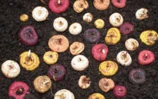 Почему высохли луковицы гладиолусов