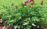 Пионы уход осенью после цветения